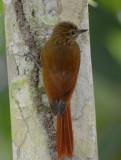 Wedge-billed Woodcreeper  0215-4j  Dominical