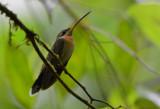 Band-tailed Barbthroat Hummingbird  0215-2j  Esquinas