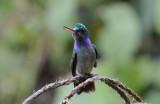 Charming Hummingbird  0215-2j  Esquinas