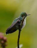 Garden Emerald  0215-2j  Uvita