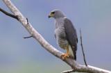 Gray Hawk  0215-1j  Uvita