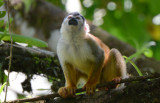 Squirrel Monkey  0215-6j  Osa