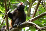 Mantled Howler Monkey  0215-4j  Osa