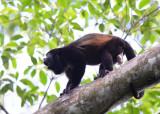 Mantled Howler Monkey  0215-7j  Osa