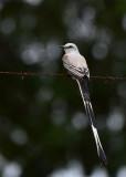 Scissor-tailed Flycatcher  1115-2j  Ensenada