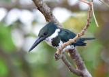 Amazon Kingfisher Female  1115-2j  Cano Negro