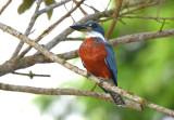 Ringed Kingfisher  1115-2j  Cano Negro