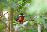 Green and Rufous Kingfisher  1115-2j  Cano Negro