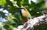 Turquoise-browed Motmot  1115-3j  Ostional