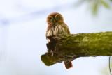 Ferruginous Pygmy-owl  1115-1j  Ensenada