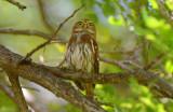 Ferruginous Pygmy-owl  1115-3j  Ensenada