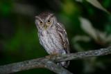 Pacific Screech Owl  1115-4j  Ensenada
