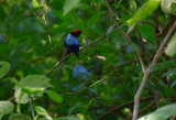 Long-tailed Manakin  1115-2j  Ostional