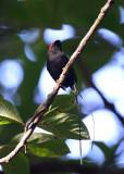 Long-tailed Manakin  1115-6j  Ostional