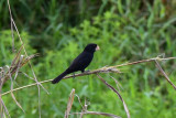 Nicaraguan Seed-finch  1115-1j Cinchona