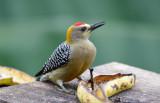 Hoffmann's Woodpecker  1115-1j  Ostional