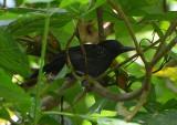 Black-hooded Antshrike  0215-3j  Golfito