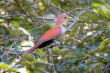 Squirrel Cuckoo  1115-1j  Ostional