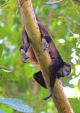 Mantled Howler Monkey  1115-5j.jpg