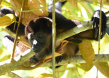 Mantled Howler Monkey  1115-1j.jpg