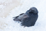 Raven with snow cover waiting for sunrise.