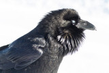 Raven, chuffed up, nictating membrane over eye.