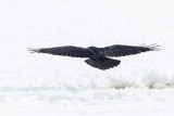 Raven flying out onto the frozen river. View from behind.