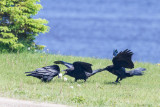 Adult raven with lard feeding two juveniles. 2014 June 24th.