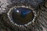 Close up of eye of raven showing reflection of photographer 2014 June 25th.