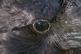 Close up of eye of raven.