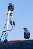 June 25 2014. Juvenile raven on service master. Another on roof below.