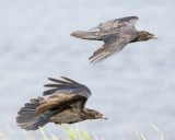 Two juvenile ravens in flight.