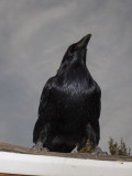 Raven on a roof, looking upwards.