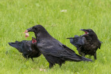 Adult raven with food in front of two juvenile ravens with their mouths open.