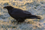 Frosted raven on a snowy lawn 2015 October 17th.