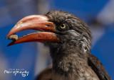 Growned Hornbill