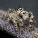 Jumping spider half profile sm 2740.jpg