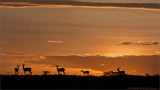 Grants Gazelle and a Tanzania Sunset