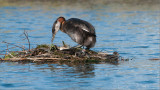 Red-necked Grebes Nesting