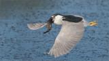Black-crowned Night Heron re-edit