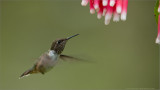 Volcano Hummingbird in Flight