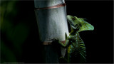 Common basilisk / Jesus Lizard
