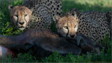 Cheetah Brothers having a Meal