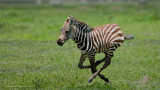 Zebra in Flight