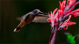 Brown Violetear in Flight