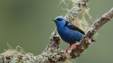 Red-legged Honeycreeper  (re-edit)