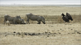 Martial Eagle and Warthogs - Tanzania