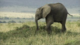 Elephant in the Serengeti