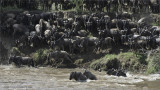 Wildebeests Crossing at the Mara River
