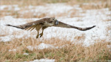 Red-tailed Hawk with Lunch